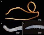 Synelmis knoxi Glasby, 2003 from Glasby & Marks (2013)