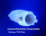 Leucorhynchia tricarinata