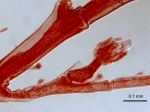 Hydrozoa (hydroids)