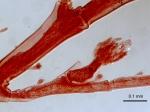Plumularia strictocarpa Holotype MHNG-INVE-25022