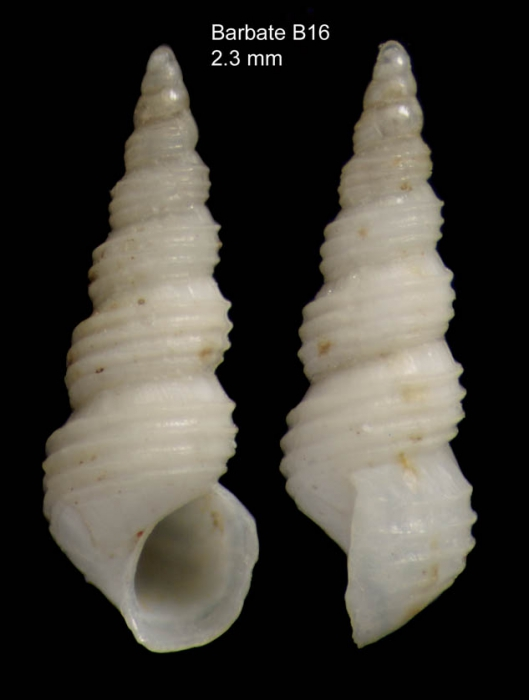 Aclis ascaris (Turton, 1819)Shell from Barbate, Spain (actual size 2.3 mm)