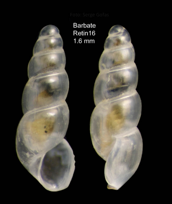 Aclis vitrea Watson, 1897Specimen from Barbate (29 m) (actual size 1.6 mm)