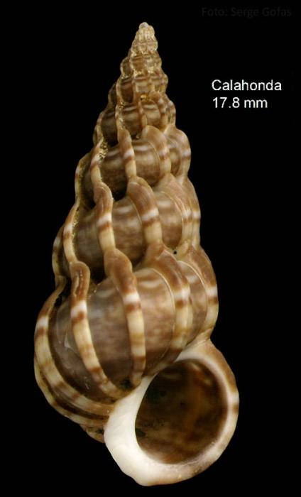 Epitonium clathrus (Linnaeus, 1758)Specimen from Calahonda, Málaga, Spain (actual size 17.8 mm).