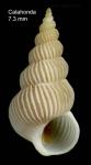 Epitonium pulchellum (Bivona, 1832)Specimen from Calahonda, Málaga, Spain (actual size 7.3 mm).