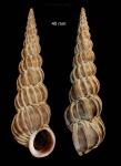 <i>Epitonium turtonis</i> (Turton, 1819)</b>Specimen from Malaga province, Spain (actual size 40 mm).