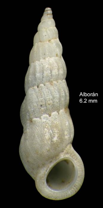 Opalia hellenica (Forbes, 1844)Specimen from isla de Alborán (col. Ángel Luque) (actual size 6.2 mm).