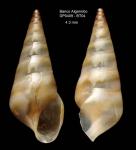 Eulima fuscozonata Bouchet & Warén, 1986Specimen from Djibouti Banks, Alboran Sea, 360-365 m (actual size 4.3 mm)