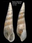 <i>Curveulima devians</i> (Monterosato, 1884)</b>Specimen from Djibouti Banks, Alboran Sea, 360-365 m (actual size 4.2 mm)