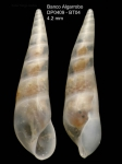 Curveulima devians (Monterosato, 1884)Specimen from Djibouti Banks, Alboran Sea, 360-365 m (actual size 4.2 mm)