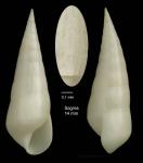 <i>Melanella alba</i> (da Costa, 1778)</b>Specimen from Sagres, Portugal (actual size 14.0 mm).