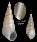 Melanella lubrica (Monterosato, 1890)Specimen from Benalmádena, Spain (actual size 6.5 mm).