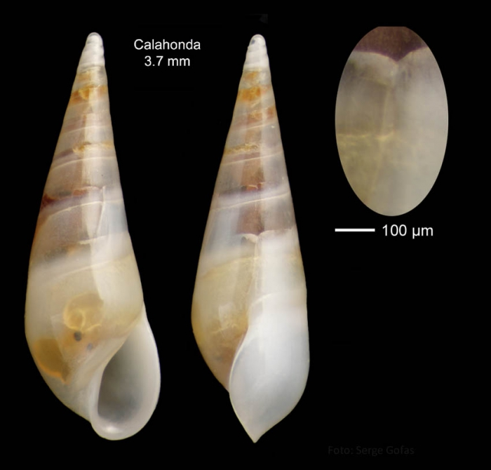 Melanella polita (Linnaeus, 1758)Specimen from Calahonda, Málaga, Spain (actual size 3.7 mm).