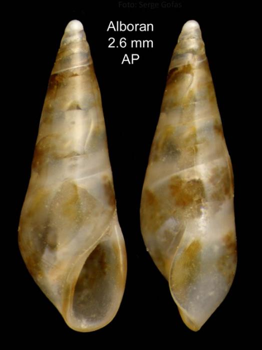 Sticteulima jeffreysiana (Brusina, 1869)Specimen from Isla de Alborán (Col. Anselmo Peñas) (actual size 2.6 mm). /