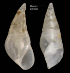 Vitreolina curva (Monterosato, 1874)Specimen from Rincón de la Victoria, Málaga, Spain (actual size 2.9 mm).
