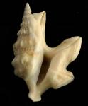 Aporrhais pespelecani (Linnaeus, 1758)Specimen from Cabo Pino, Málaga, Spain, 25 m (actual size 34 mm).