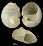 Megalomphalus azonus (Brusina, 1865)Shell from Rincon de la Victoria, Málaga, Spain (actual size 2.7 mm)