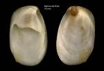 Crepidula unguiformis Lamarck, 1822Specimen from Marina del Este, Granada, Spain, Granada (actual size 19 mm).