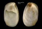 <i>Crepidula unguiformis</i> Lamarck, 1822</b>Specimen from Marina del Este, Granada, Spain, Granada (actual size 19 mm).
