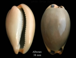 Luria lurida (Linnaeus, 1758)Specimen from Isla de Alborán (actual size 38 mm).
