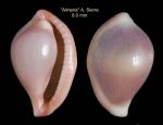Pseudosimnia carnea (Poiret, 1789)Specimen from Almería (col. Diego Moreno ex Alberto Sierra) (actual size 8.0 mm)