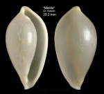 Aperiovula adriatica (Sowerby G.B. I, 1828)Specimen from Melilla (col. Rutlant, MNHN) (actual size 25.2 mm)