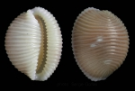 Trivia arctica (Pulteney, 1799)Specimen from Cabo Pino, Málaga, Spain, 15 m (actual size 8.9 mm).