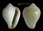 <i>Erato voluta</i> (Montagu, 1803)</b>Shell from Cabo Pino, Málaga, Spain, 15 m (actual size 7.1 mm)