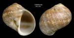 <i>Natica prietoi</i> Hidalgo, 1873</b>Shell from Calahonda, Málaga, Spain (actual size 16.2 mm)