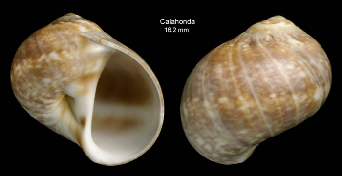 Natica prietoi Hidalgo, 1873Shell from Calahonda, Málaga, Spain (actual size 16.2 mm)
