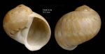 Notocochlis dillwynii (Payraudeau, 1826)Shell from Calahonda, Málaga, Spain (actual size 16.3 mm).