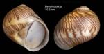 <i>Tectonatica sagraiana</i> (d'Orbigny, 1842)</b>Specimen from Benalmádena, Spain (actual size 10.3 mm).