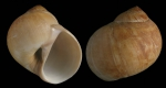 Euspira fusca (Blainville, 1825)Shell from Málaga province, Spain (actual size 30 mm)