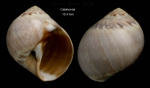 Euspira guilleminii (Payraudeau, 1826)Specimen from Calahonda, Málaga, Spain (actual size 13.4 mm).