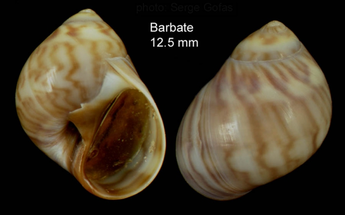 Euspira macilenta (Philippi, 1844)Specimen from Barbate, Spain (actual size 12.5 mm).
