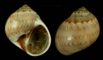 <i>Euspira nitida</i> (Donovan, 1804)</b>Specimen from Barbate, Spain (actual size 12 mm).