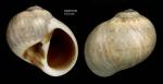 Payraudeautia intricata (Donovan, 1804)Shell from Calahonda, Málaga, Spain (actual size 10.5 mm).
