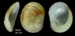 Sinum bifasciatum (Récluz, 1851)Shell from Nerja, Málaga, Spain (actual size 30 mm).