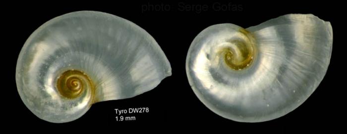 Protatlanta souleyeti (E. A. Smith, 1888)Shell from  Tyro seamount, central North Atlantic (actual size 1.9 mm)