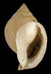 Galeodea rugosa (Linnaeus, 1771)Specimen from Málaga province, Spain  (actual size 81 mm)