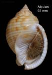Semicassis undulata (Gmelin, 1791)Specimen from El Alquián, Almería, Spain (actual size 65 mm).