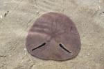 Echinodiscus bisperforatus
