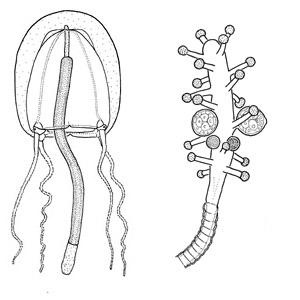 Family Corynidae