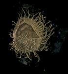 Lingulodinium machaerophorum