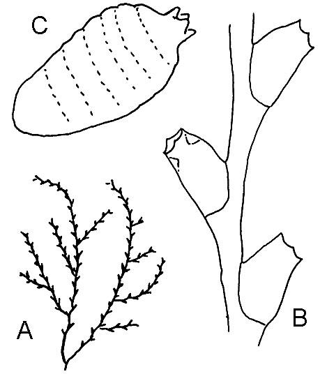 Family Sertulariidae Genus Sertularella