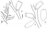 Thyroscyphus fruticosus