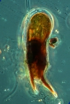 Ceratium praelongum