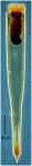 Xystonellopsis armata