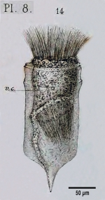Ptychocylis urnula - Figure from original description