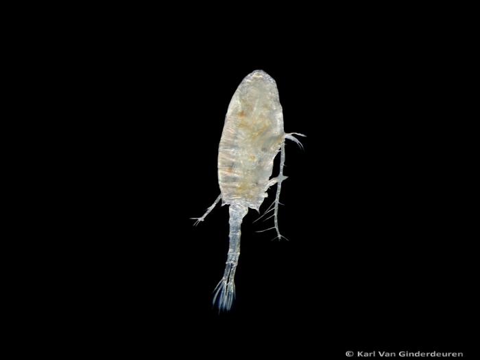 Pseudodiaptomus marinus