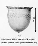 Petalotricha serrata